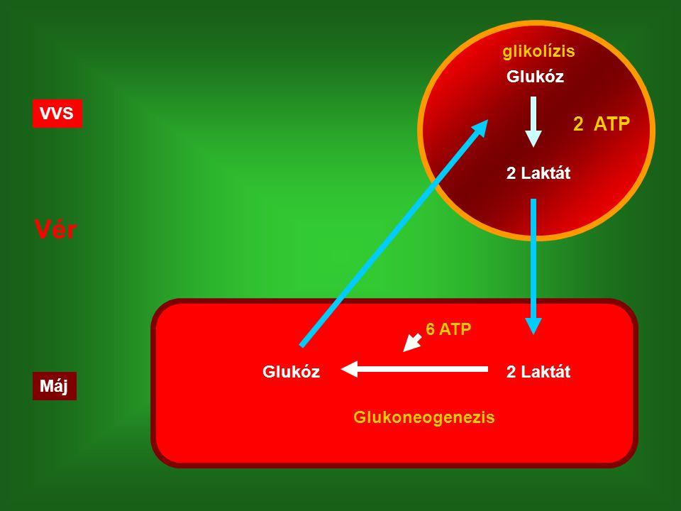 Máj VVS Vér Glukóz 2 Laktát 2 ATP 2 LaktátGlukóz Glukoneogenezis glikolízis 6 ATP