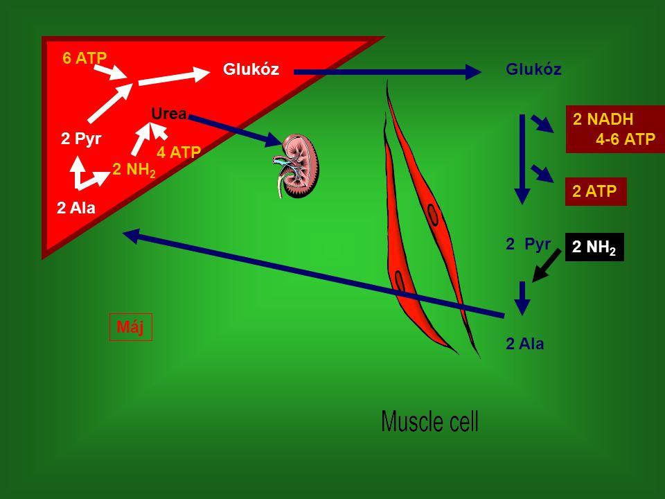 Glukóz 2 Ala 2 Pyr 6 ATP 2 NH 2 Urea Glukóz 2 Pyr 2 Ala 2 NADH 4-6 ATP 2 ATP 2 NH 2 4 ATP Máj