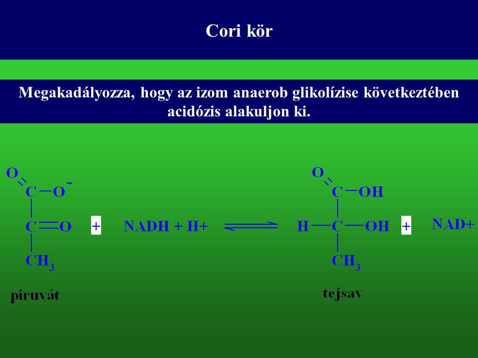 Cori kör Megakadályozza, hogy az izom anaerob glikolízise következtében acidózis alakuljon ki.