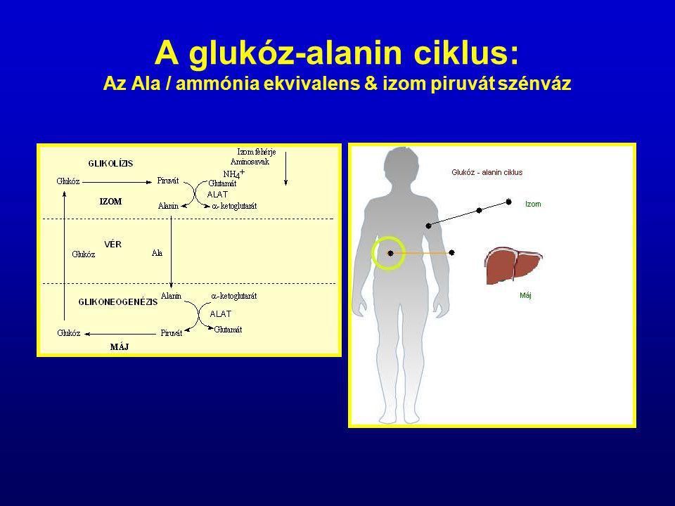 A glukóz-alanin ciklus: Az Ala / ammónia ekvivalens & izom piruvát szénváz