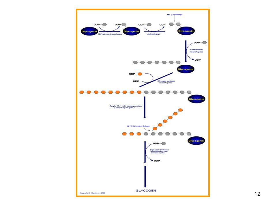 11 Glikogén metabolizmus