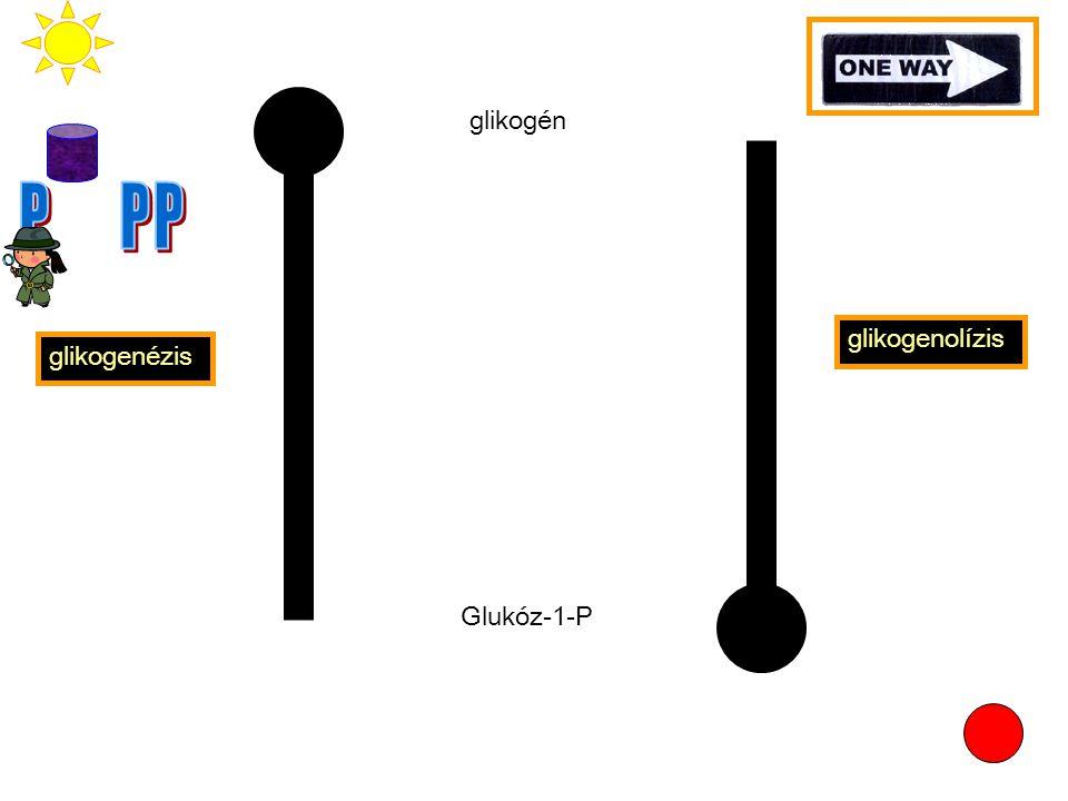 14 Glikogén foszforiláz - máj