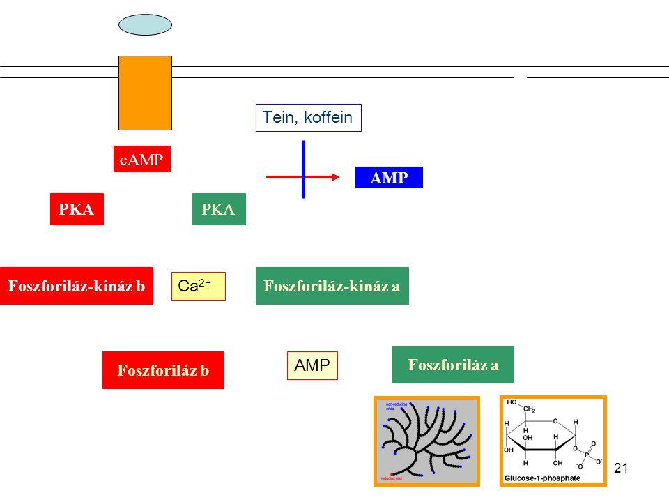 20 Protein Kinase Reaktions Serine-Threonine Kinase / cAMP depentent Protein Kinase