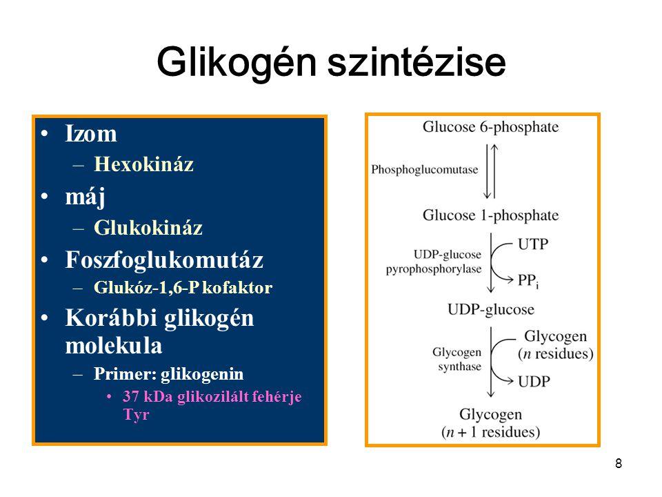 28 Szabályozás Reciprok allosztérikus kontroll Glikogén foszforiláz –Izom AMP, ATP & glukóz-6-p –Máj – kevéssé érzékeny Glikogén szintáz –glukóz-6-p