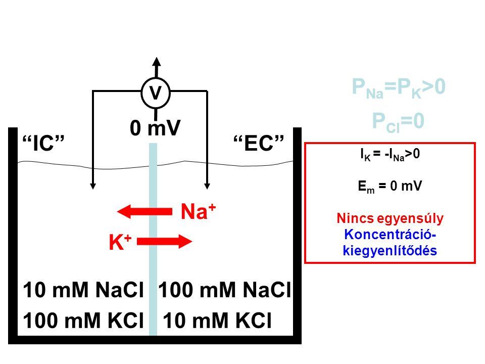 """100 mM KCl10 mM KCl 10 mM NaCl100 mM NaCl """"IC""""""""EC"""" P Na =P K >0 P Cl =0 E m = ? I K = -I Na >0 E m = 0 mV Nincs egyensúly Koncentráció- kiegyenlítődés"""