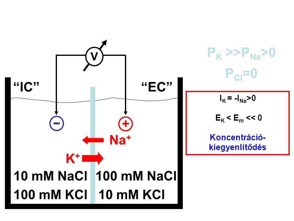 "100 mM KCl10 mM KCl 10 mM NaCl100 mM NaCl ""IC""""EC"" P K >>P Na >0 P Cl =0 V + Na + K+K+ I K = -I Na >0 E K < E m << 0 Koncentráció- kiegyenlítődés"