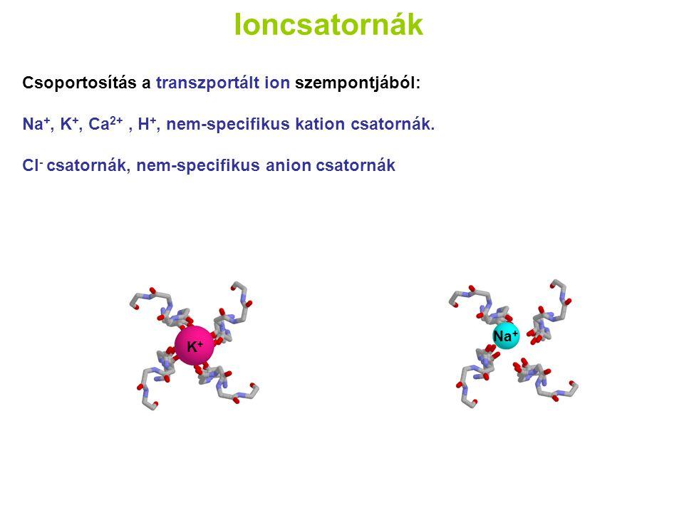 Ioncsatornák Csoportosítás a transzportált ion szempontjából: Na +, K +, Ca 2+, H +, nem-specifikus kation csatornák. Cl - csatornák, nem-specifikus a