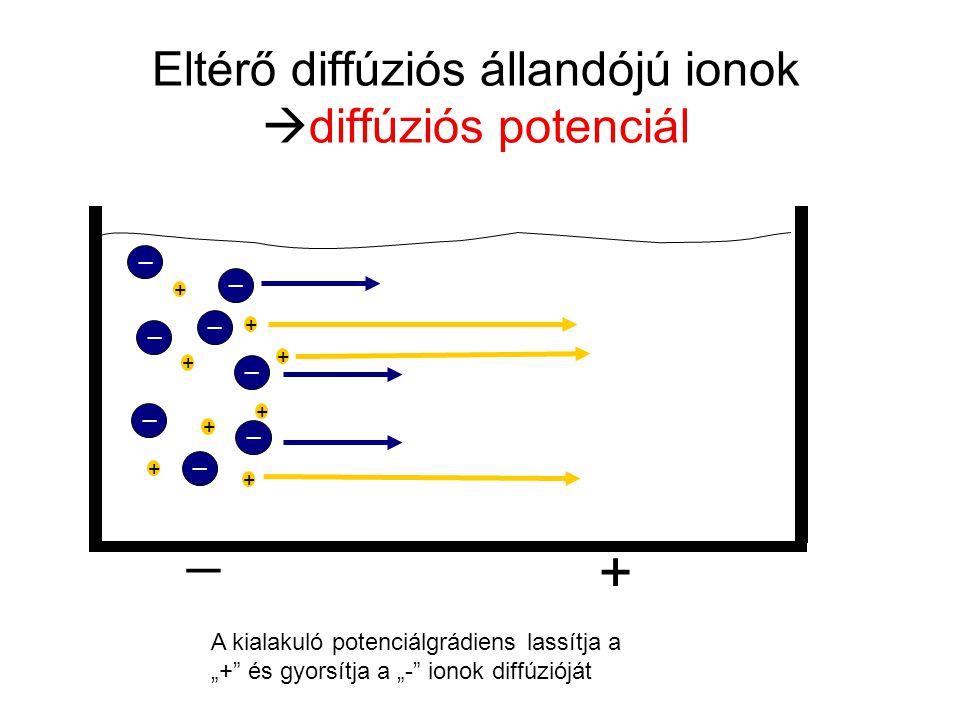 """Eltérő diffúziós állandójú ionok  diffúziós potenciál _ _ _ _ _ _ _ _ + + + + + + + + + _ A kialakuló potenciálgrádiens lassítja a """"+"""" és gyorsítja a"""