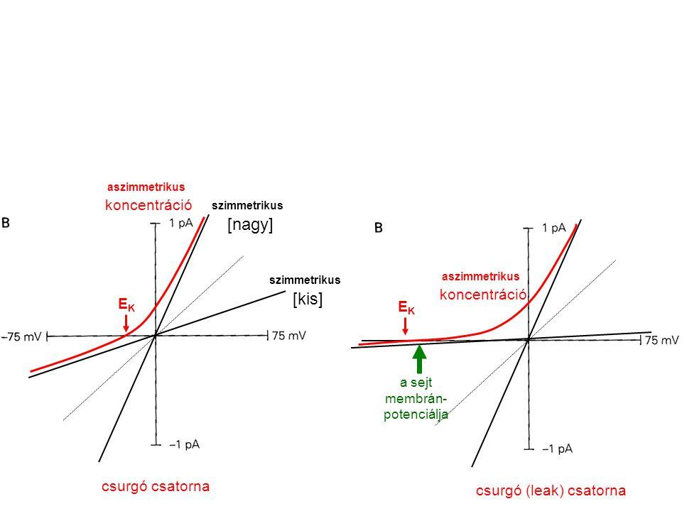 szimmetrikus [kis] szimmetrikus [nagy] aszimmetrikus koncentráció csurgó csatorna EKEK aszimmetrikus koncentráció EKEK csurgó (leak) csatorna a sejt m