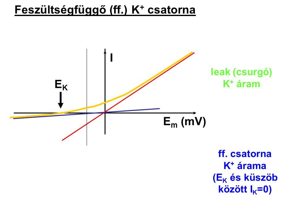 Feszültségfüggő (ff.) K + csatorna I E m (mV) EKEK nyitási valószínűség leak (csurgó) K + áram I E m (mV) ff. csatorna K + árama (E K és küszöb között