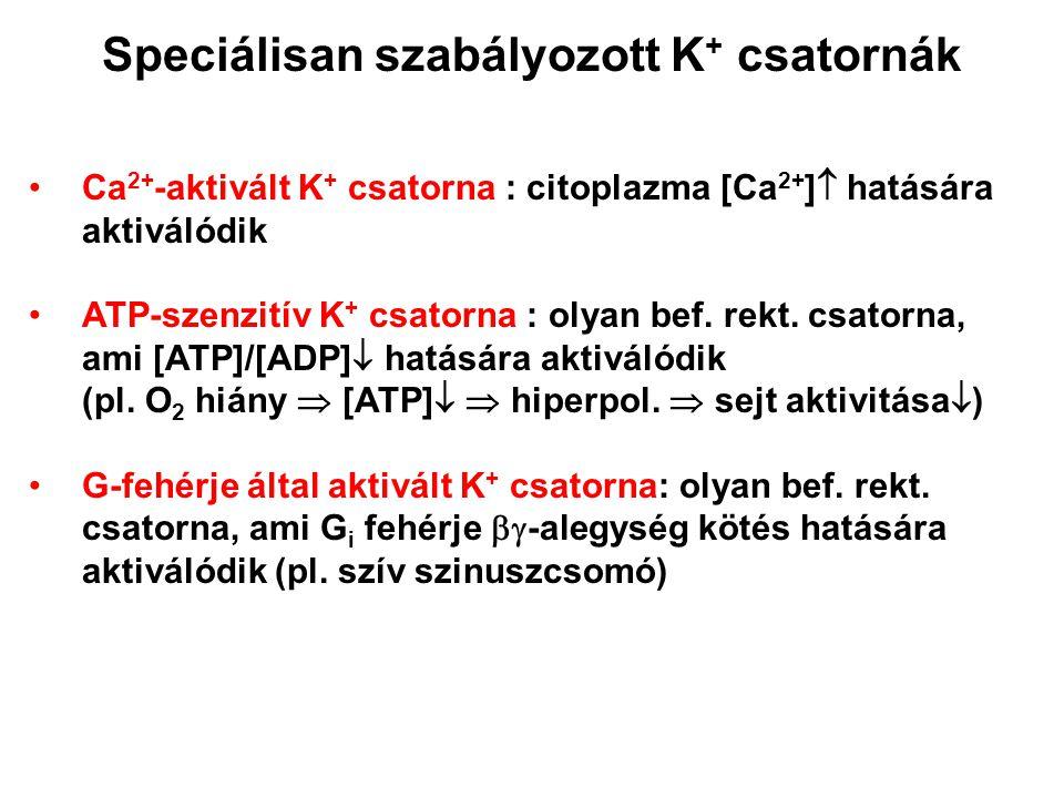 Speciálisan szabályozott K + csatornák Ca 2+ -aktivált K + csatorna : citoplazma [Ca 2+ ]  hatására aktiválódik ATP-szenzitív K + csatorna : olyan be