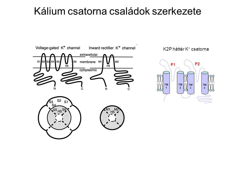 TM 1 TM 2 P1 TM 3 TM 4 P2 K2P háttér K + csatorna Kálium csatorna családok szerkezete