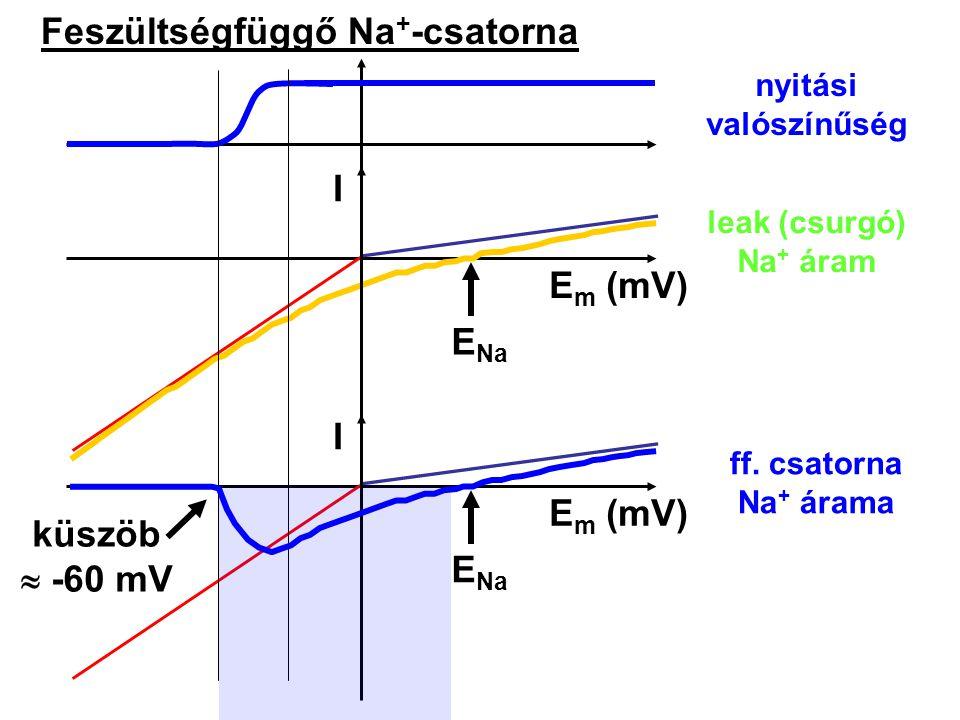 Feszültségfüggő Na + -csatorna I E m (mV) E Na E m (mV) E Na nyitási valószínűség leak (csurgó) Na + áram ff. csatorna Na + árama küszöb  -60 mV I