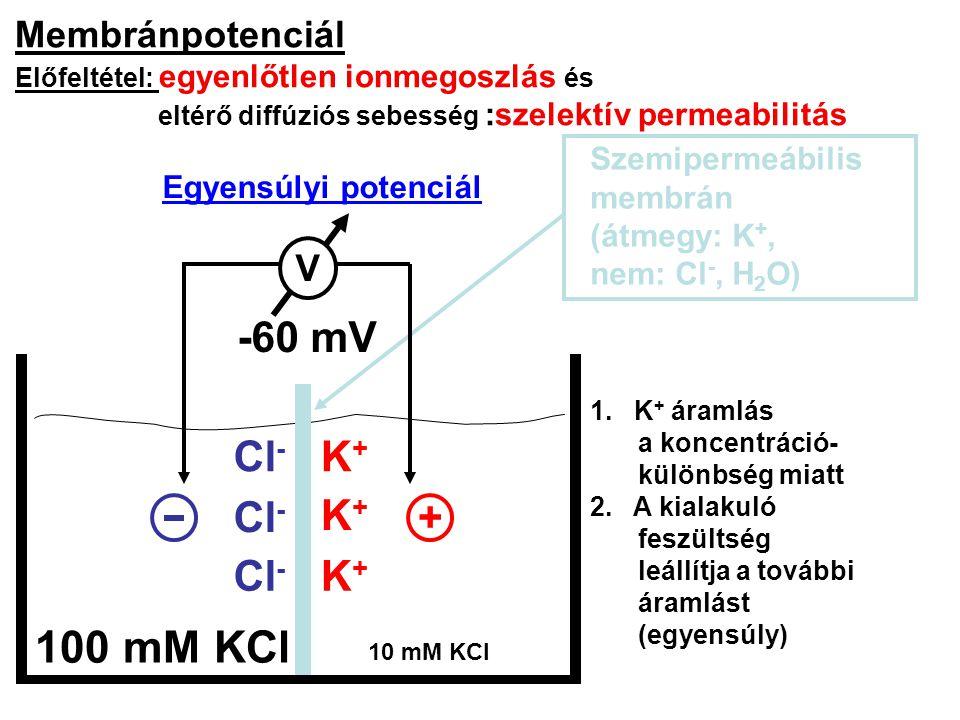 Membránpotenciál Előfeltétel: egyenlőtlen ionmegoszlás és eltérő diffúziós sebesség :szelektív permeabilitás Szemipermeábilis membrán (átmegy: K +, ne