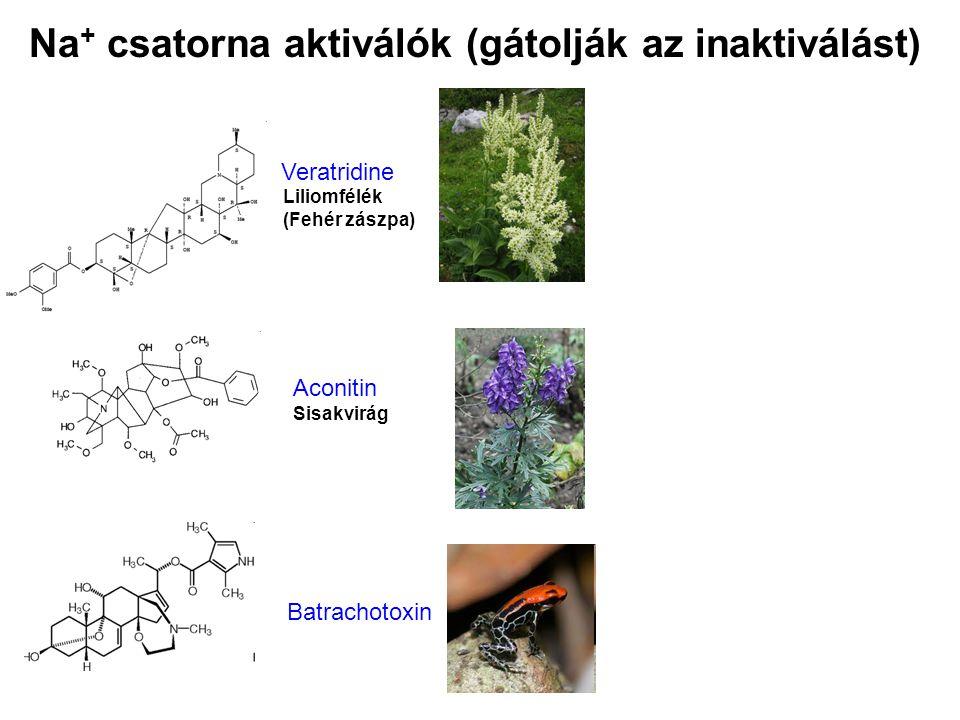Veratridine Liliomfélék (Fehér zászpa) Aconitin Sisakvirág Batrachotoxin Na + csatorna aktiválók (gátolják az inaktiválást)