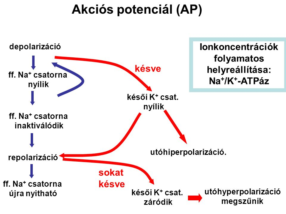 Akciós potenciál (AP) depolarizáció ff. Na + csatorna nyílik ff. Na + csatorna inaktiválódik ff. Na + csatorna újra nyitható repolarizáció késői K + c