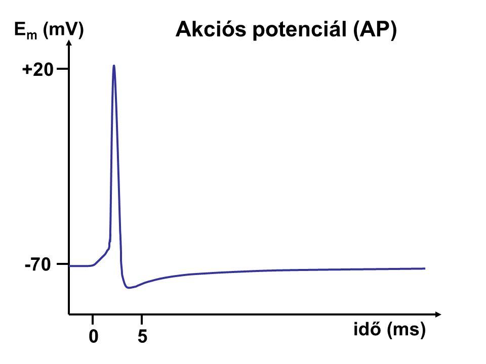 Akciós potenciál (AP) -70-70 E m (mV) +20 idő (ms) 05