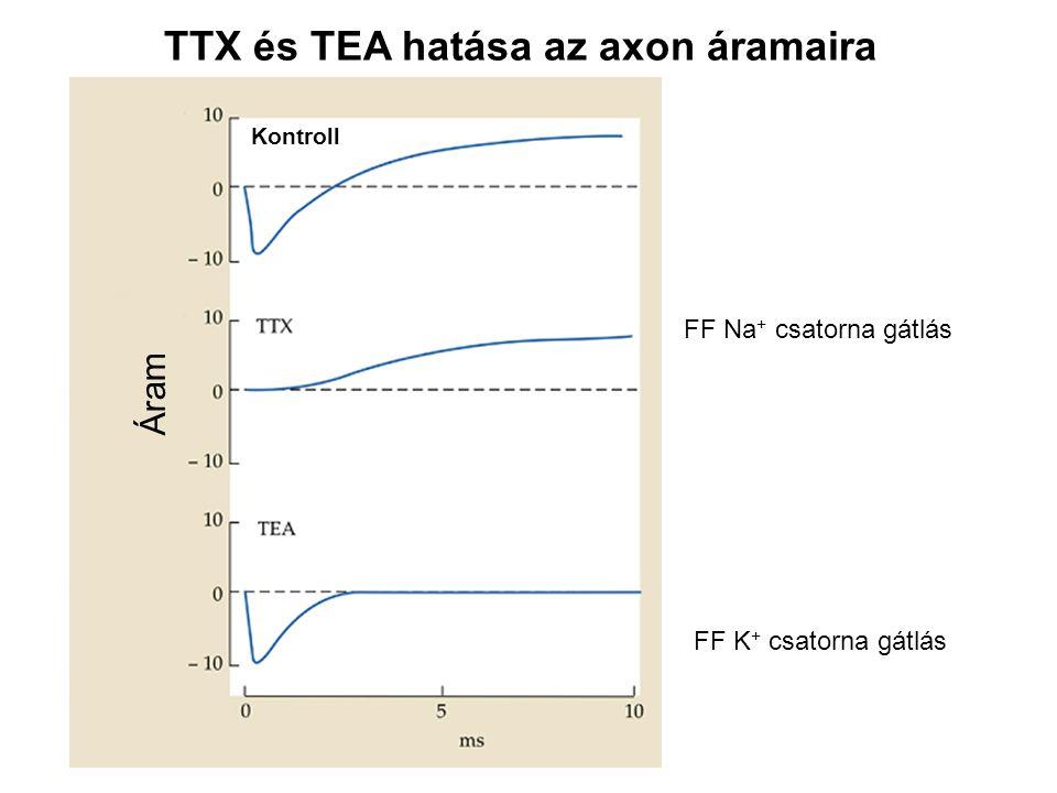 Kontroll Áram TTX és TEA hatása az axon áramaira FF Na + csatorna gátlás FF K + csatorna gátlás