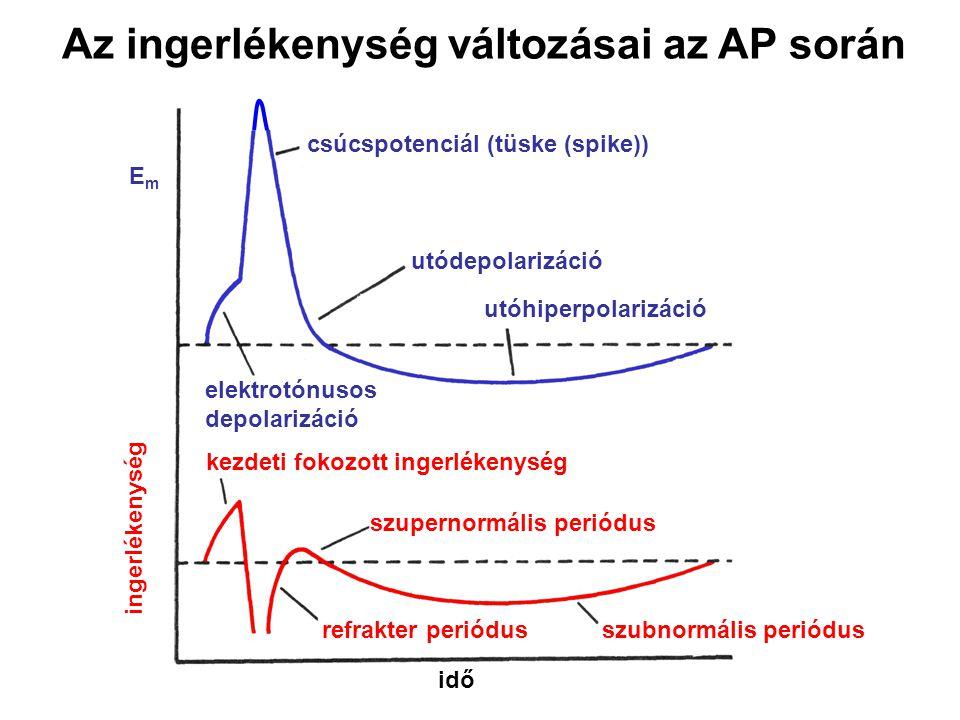 idő elektrotónusos depolarizáció Az ingerlékenység változásai az AP során csúcspotenciál (tüske (spike)) utódepolarizáció utóhiperpolarizáció kezdeti