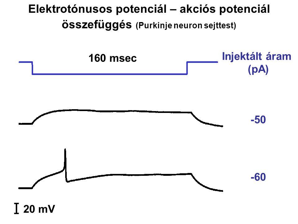 Elektrotónusos potenciál – akciós potenciál összefüggés (Purkinje neuron sejttest) -50 -60 20 mV 160 msec Injektált áram (pA)