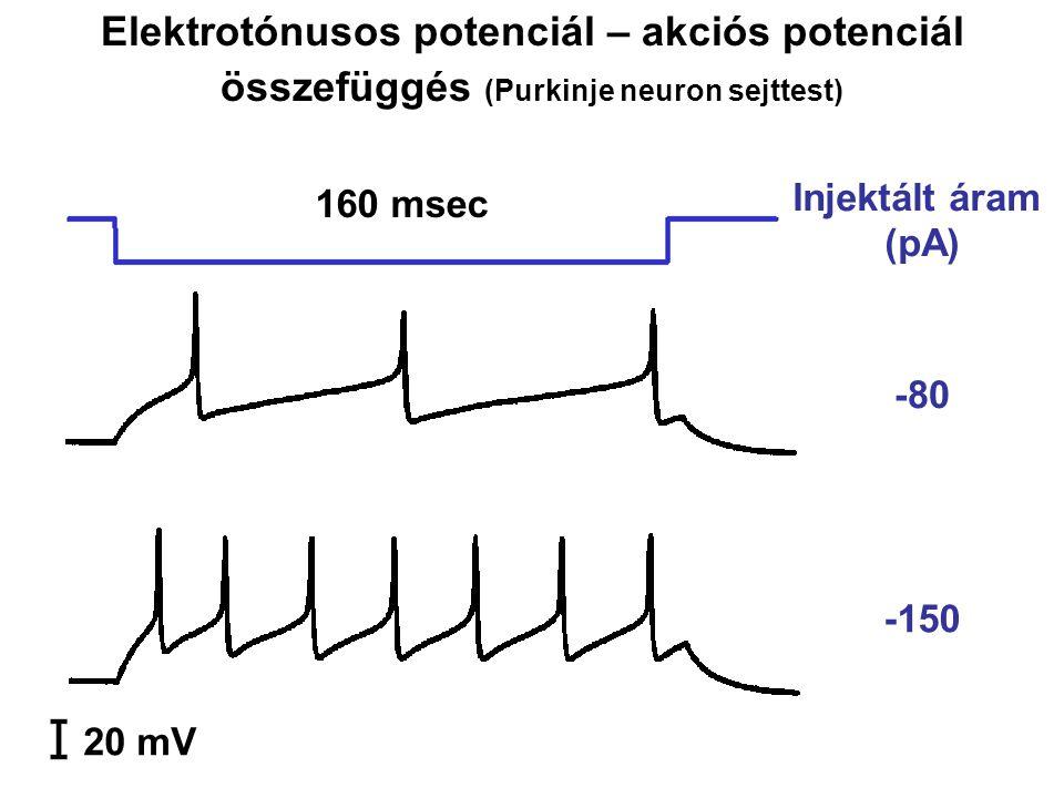 -80 -150 20 mV 160 msec Injektált áram (pA) Elektrotónusos potenciál – akciós potenciál összefüggés (Purkinje neuron sejttest)