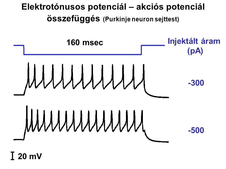 -300 -500 20 mV 160 msec Injektált áram (pA) Elektrotónusos potenciál – akciós potenciál összefüggés (Purkinje neuron sejttest)