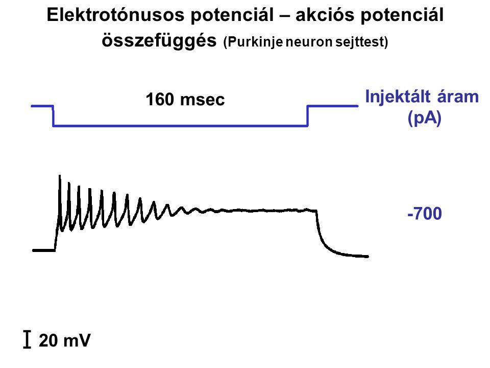 -700 20 mV 160 msec Injektált áram (pA) Elektrotónusos potenciál – akciós potenciál összefüggés (Purkinje neuron sejttest)