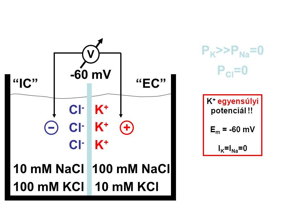 """100 mM KCl10 mM KCl 10 mM NaCl100 mM NaCl """"IC""""""""EC"""" P K >>P Na =0 P Cl =0 E m = ? + Cl - K+K+ K+K+ K+K+ V -60 mV K + egyensúlyi potenciál !! E m = -60"""