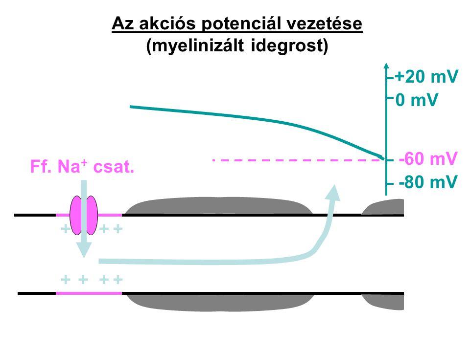 Az akciós potenciál vezetése (myelinizált idegrost) +++ ++++ Ff. Na + csat. -80 mV -60 mV 0 mV +20 mV