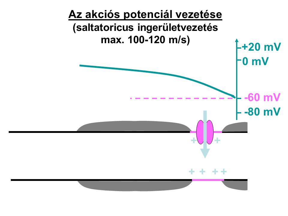 Az akciós potenciál vezetése (saltatoricus ingerületvezetés max. 100-120 m/s) ++++ -80 mV -60 mV 0 mV +20 mV ++