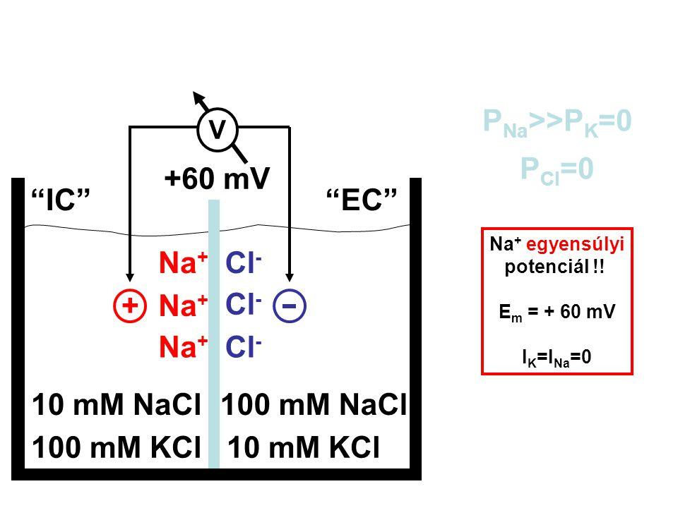 """100 mM KCl10 mM KCl 10 mM NaCl100 mM NaCl """"IC""""""""EC"""" P Na >>P K =0 P Cl =0 E m = ? + Na + Cl - V +60 mV Na + egyensúlyi potenciál !! E m = + 60 mV I K ="""