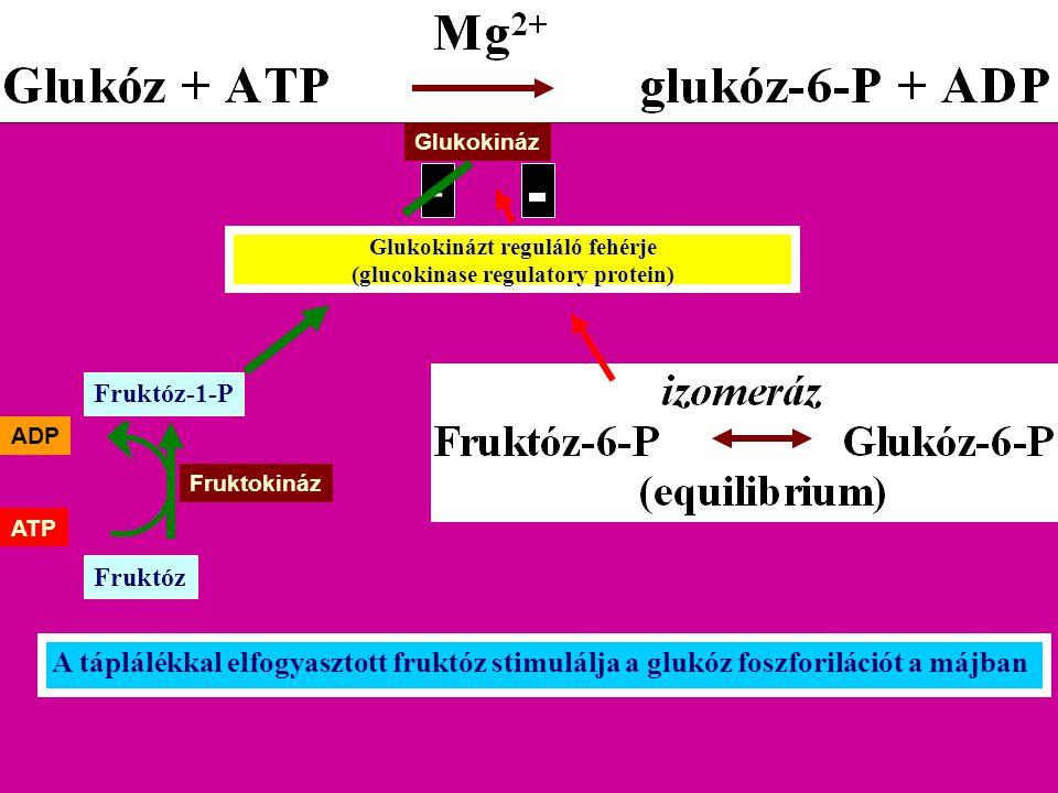Glukokinázt reguláló fehérje (glucokinase regulatory protein) Glukokináz Fruktóz-1-P Fruktóz Fruktokináz ATP ADP A táplálékkal elfogyasztott fruktóz s