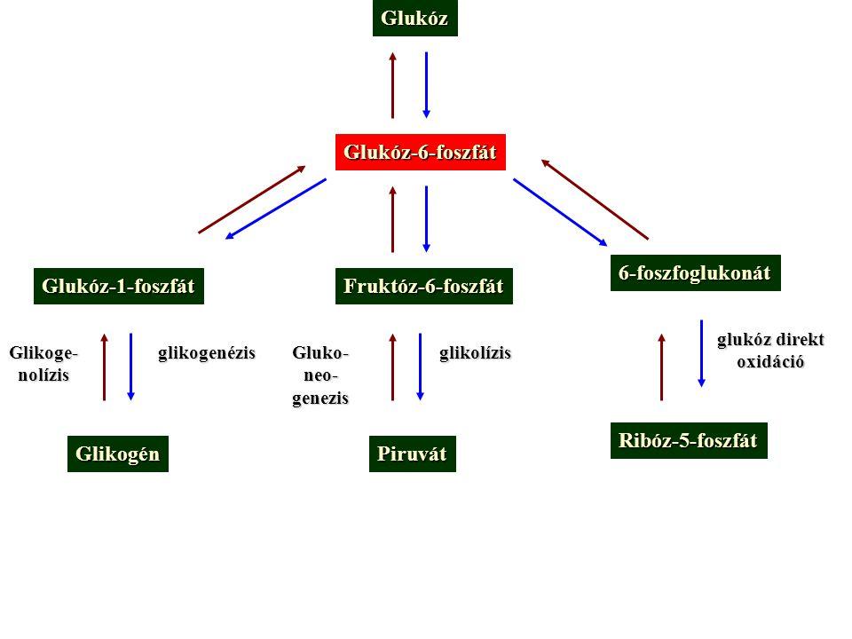Glukóz Glukóz-6-foszfát Glukóz-1-foszfátFruktóz-6-foszfát 6-foszfoglukonát GlikogénPiruvát Ribóz-5-foszfát glikogenézisglikolízis glukóz direkt oxidác