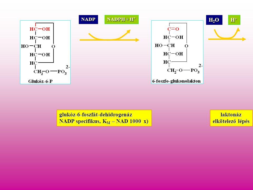 NADP NADPH + H + glukóz-6-foszfát-dehidrogenáz NADP specifikus, K M – NAD 1000 x) H2OH2OH2OH2O H+H+H+H+ laktonáz elkötelező lépés
