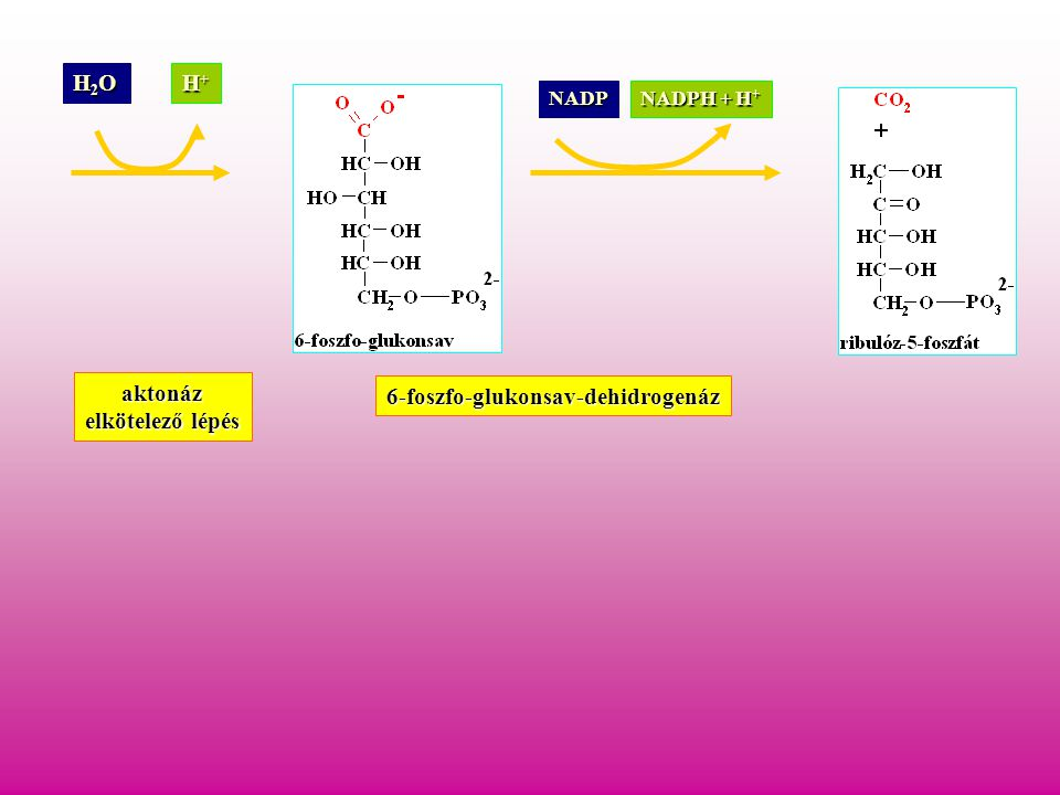 H2OH2OH2OH2O H+H+H+H+ aktonáz NADP NADPH + H + 6-foszfo-glukonsav-dehidrogenáz