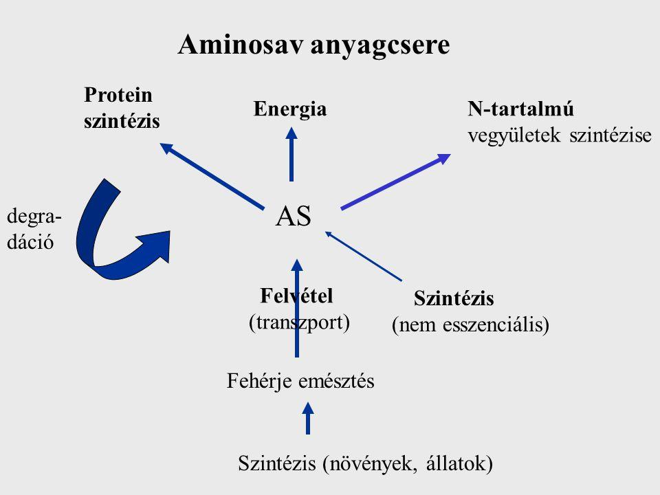 Aminosav anyagcsere Protein szintézis EnergiaN-tartalmú vegyületek szintézise AS Szintézis (nem esszenciális) Fehérje emésztés Szintézis (növények, állatok) degra- dáció Felvétel (transzport)