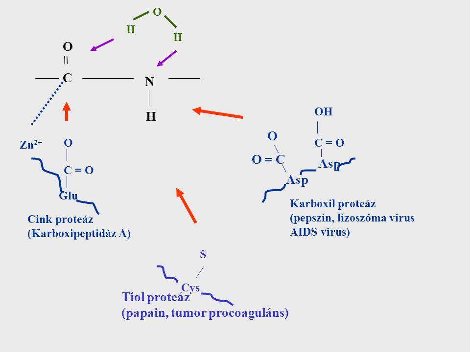 OCOC N H H O H = Zn 2+ Glu C = O O Cink proteáz (Karboxipeptidáz A) Asp O = C O C = O OH Karboxil proteáz (pepszin, lizoszóma virus AIDS virus) Cys S Tiol proteáz (papain, tumor procoaguláns)