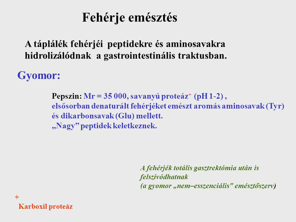 Fehérje emésztés A táplálék fehérjéi peptidekre és aminosavakra hidrolizálódnak a gastrointestinális traktusban. Gyomor: Pepszin: Mr = 35 000, savanyú