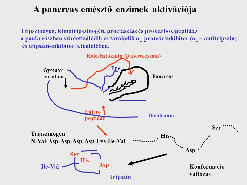 A pancreas emésztő enzimek aktivációja Tripszinogén, kimotripszinogén, proelasztáz és prokarboxipeptidáz a pankreászban szintetizálódik és tárolódik 