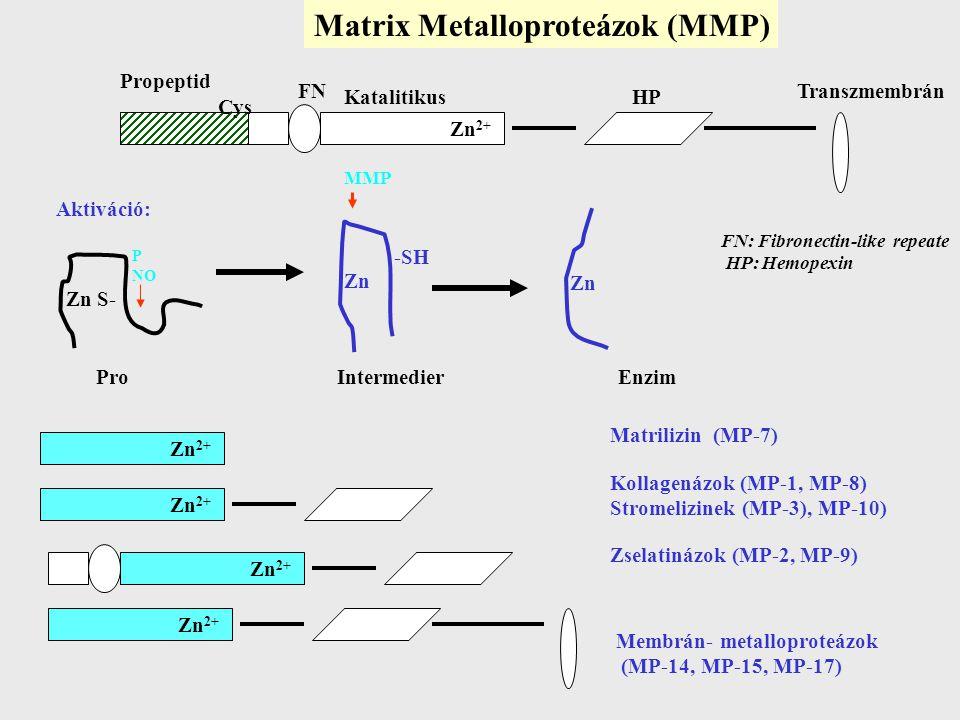 Matrix Metalloproteázok (MMP) Zn 2+ Propeptid Cys FN KatalitikusHP Transzmembrán Aktiváció: Zn S- Zn -SH MMP Zn Pro Intermedier Enzim Zn 2+ Matrilizin (MP-7) Kollagenázok (MP-1, MP-8) Stromelizinek (MP-3), MP-10) Zselatinázok (MP-2, MP-9) Membrán- metalloproteázok (MP-14, MP-15, MP-17) FN: Fibronectin-like repeate HP: Hemopexin P NO