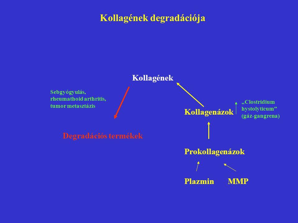 """Degradációs termékek Sebgyógyulás, rheumathoid arthritis, tumor metasztázis Kollagenázok Prokollagenázok Plazmin MMP """"Clostridium hystolyticum (gáz-gangrena) Kollagének degradációja Kollagének"""