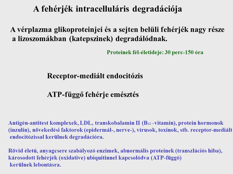 A fehérjék intracelluláris degradációja A vérplazma glikoproteinjei és a sejten belüli fehérjék nagy része a lizoszomákban (katepszinek) degradálódnak