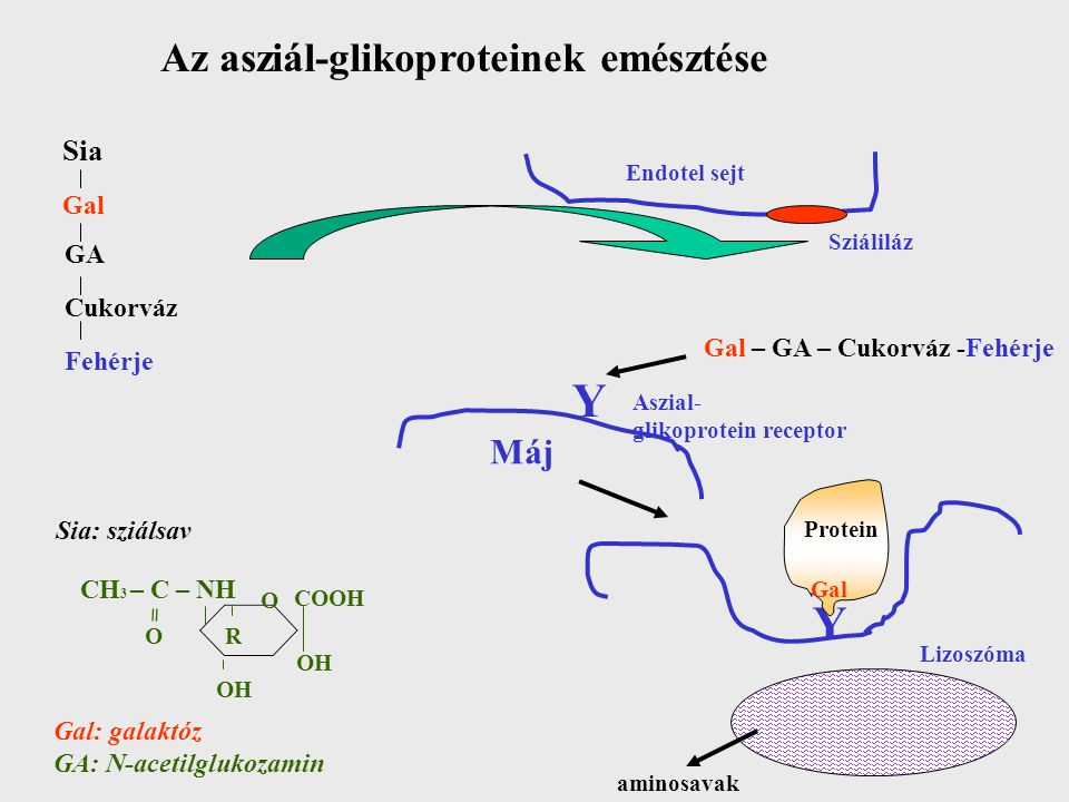 Az asziál-glikoproteinek emésztése Sia Gal GA Cukorváz Fehérje Endotel sejt Sziáliláz Gal – GA – Cukorváz -Fehérje Y Aszial- glikoprotein receptor Máj