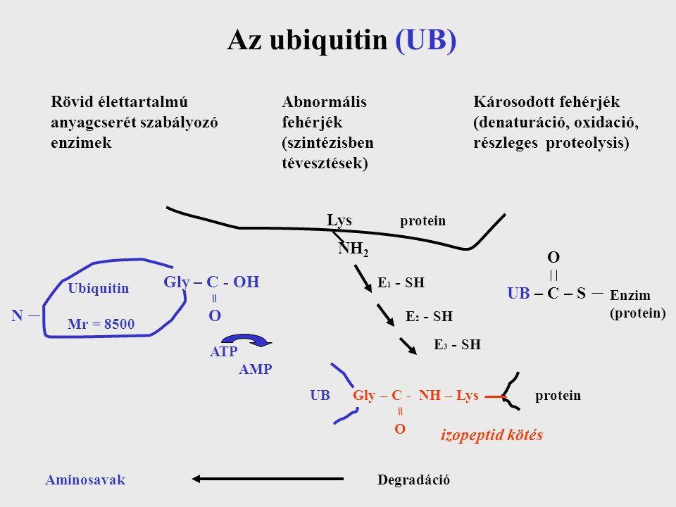 Az ubiquitin (UB) Rövid élettartalmú anyagcserét szabályozó enzimek Abnormális fehérjék (szintézisben tévesztések) Károsodott fehérjék (denaturáció, oxidació, részleges proteolysis) Lys NH 2 N Ubiquitin Mr = 8500 Gly – C - OH = O ATP AMP E 1 - SH E 2 - SH E 3 - SH UB – C – S Enzim (protein) UB Gly – C - NH – Lys = O izopeptid kötés AminosavakDegradáció protein O