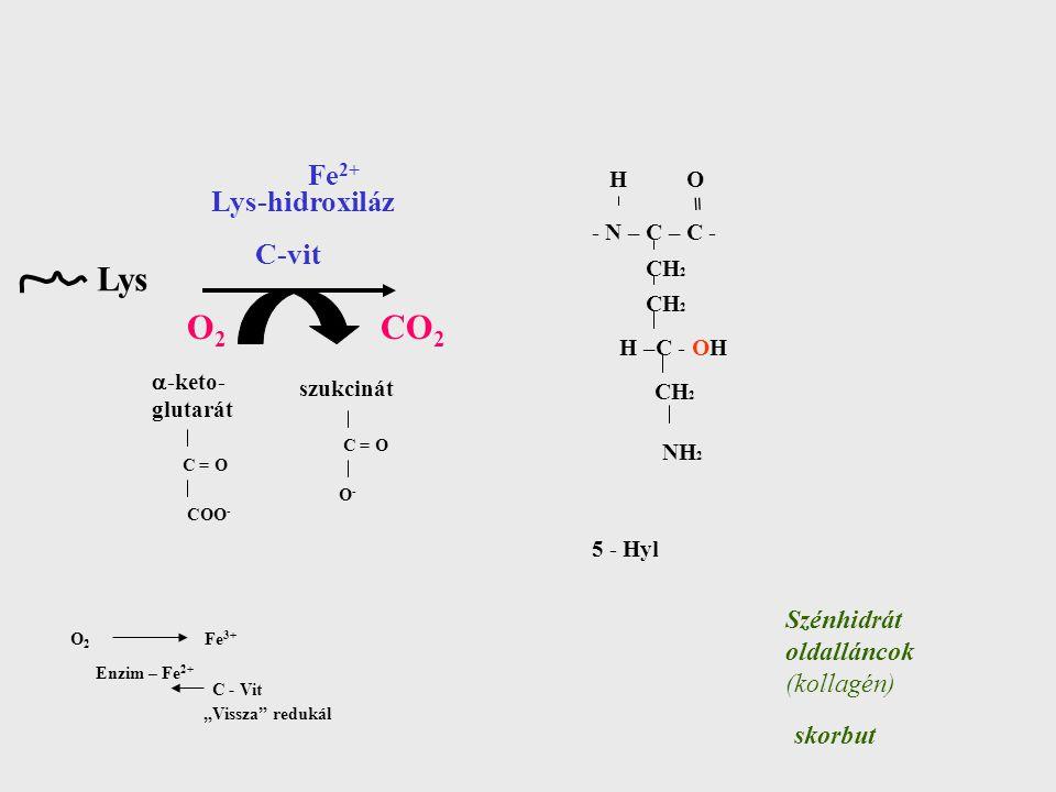 """Fe 2+ Lys-hidroxiláz C-vit Lys O2O2 CO 2 Szénhidrát oldalláncok (kollagén)  -keto- glutarát szukcinát - N – C – C - CH 2 H –C - OH CH 2 H O NH 2 = 5 - Hyl skorbut C = O COO - C = O O-O- O 2 Fe 3+ Enzim – Fe 2+ C - Vit """"Vissza redukál"""