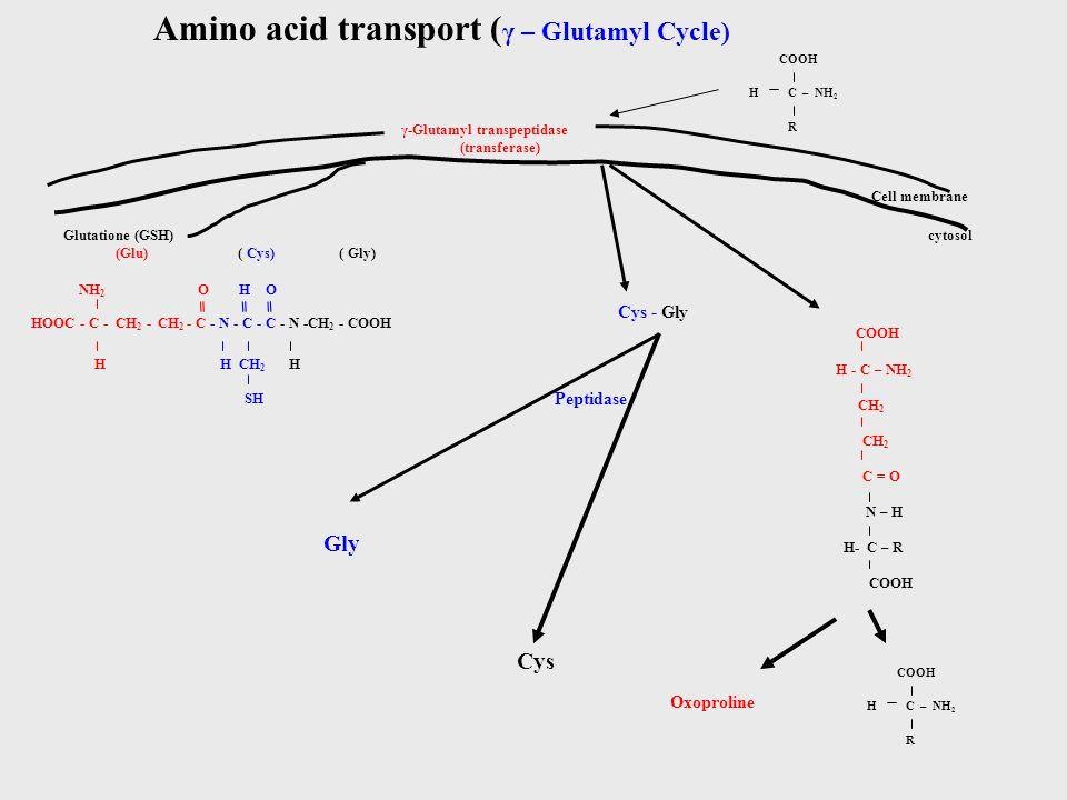 Amino acid transport ( γ – Glutamyl Cycle) COOH C – NH 2 R H γ-Glutamyl transpeptidase (transferase) Cell membrane Glutatione (GSH) HOOC - C - CH 2 - CH 2 - C - N - C - C - N -CH 2 - COOH NH 2 O H O (Glu) ( Cys) ( Gly) H H CH 2 H cytosol SH Cys - Gly Peptidase COOH H - C – NH 2 CH 2 C = O N – H H- C – R COOH Gly Cys COOH C – NH 2 R H Oxoproline ═══