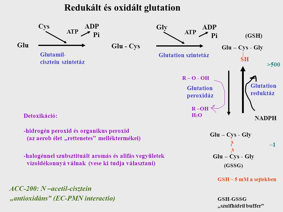 """Redukált és oxidált glutation Glu Cys ADP Pi ATP Glu - Cys Gly ADP Pi ATP (GSH) Glu – Cys - Gly Glutamil- cisztein szintetáz Glutation szintetáz SH R – O - OH Glutation peroxidáz R –OH H 2 O NADPH >500 ~1~1 Glutation reduktáz Glu – Cys - Gly s s (GSSG) GSH ~ 5 mM a sejtekben GSH-GSSG """"szulfhidril buffer Detoxikáció: -hidrogén peroxid és organikus peroxid (az aerob élet """"rettenetes melléktermékei) -halogénnel szubsztituált aromás és alifás vegyületek vízoldékonnyá válnak (vese ki tudja választani) ACC-200: N –acetil-cisztein """"antioxidáns (EC-PMN interactio)"""