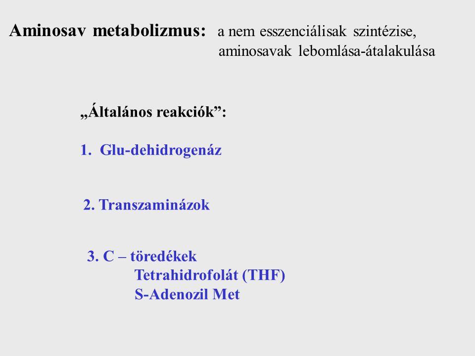 """Aminosav metabolizmus: a nem esszenciálisak szintézise, aminosavak lebomlása-átalakulása """"Általános reakciók"""": 1. Glu-dehidrogenáz 2. Transzaminázok 3"""