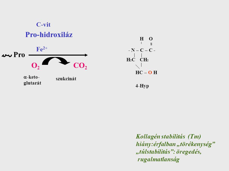 """Pro Pro-hidroxiláz Kollagén stabilitás (Tm) hiány:érfalban """"törékenység """"túlstabilitás : öregedés, rugalmatlanság - N – C – C - CH 2 H O H2CH2C = HC – O H 4-Hyp Fe 2+ C-vit O2O2 CO 2  -keto- glutarát szukcinát"""