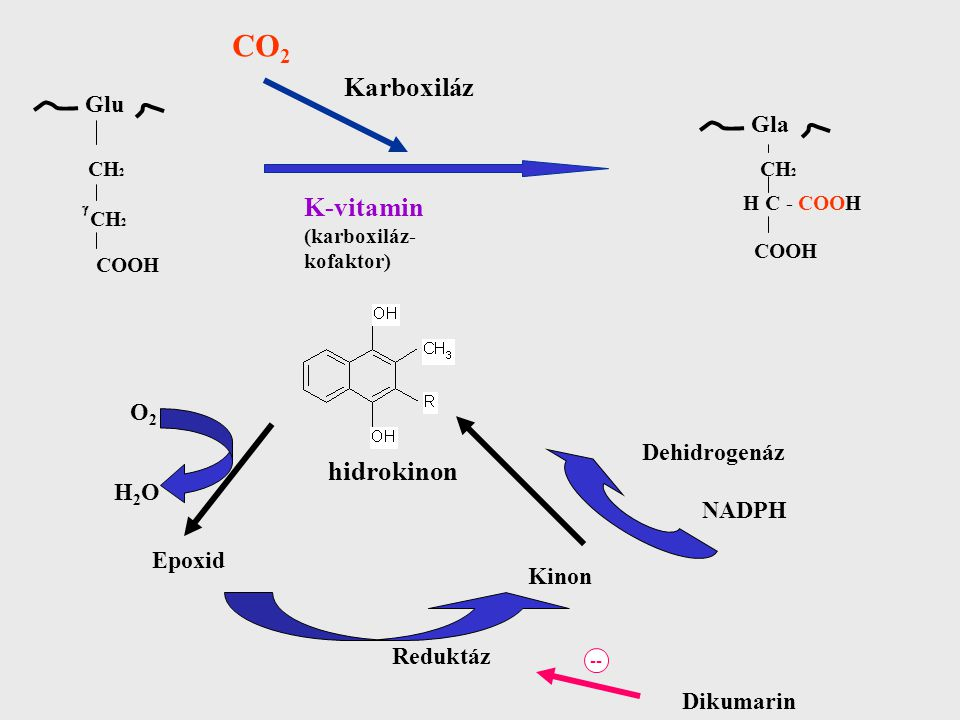 CO 2 Karboxiláz K-vitamin (karboxiláz- kofaktor) hidrokinon O2O2 H2OH2O Epoxid Dehidrogenáz NADPH Kinon Reduktáz Dikumarin -- CH 2 COOH Glu Gla CH 2 H C - COOH COOH 